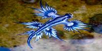 Blue Sea Dragons Appear On The East Coast Of Australia