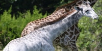 Extremely rare white giraffe spotted in Tanzania